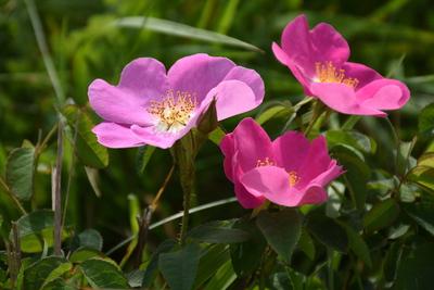 róża francuska, autor: Karolina Olszanowska-Kuńka