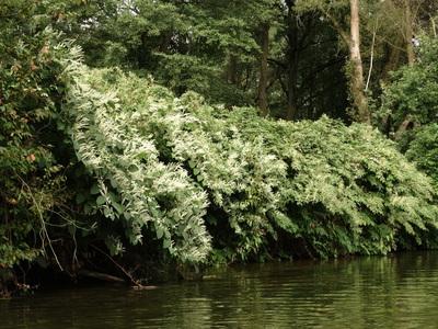 rdestowce kwitnące nad rzeką Białą Głuchołaską, autor Karolina Olszanowska-Kuńka