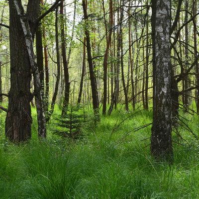 drzewostan rezerwatu przyrody, autor: Dorota Twardzik